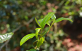 我家的茶树林子里有一棵树特别好喝,兰花香特显,这是什么原因?