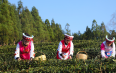 贵州水城早春茶开采啦