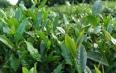 纳雍县做大做强茶产业
