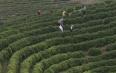 重庆万州区茶叶种植初见成效