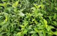 宋代茶叶主产区:两广地区