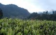 """山阳发展茶叶产业 点""""茶""""成金荒山建起""""绿色银行"""""""