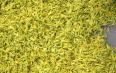 君山银针属于黄茶