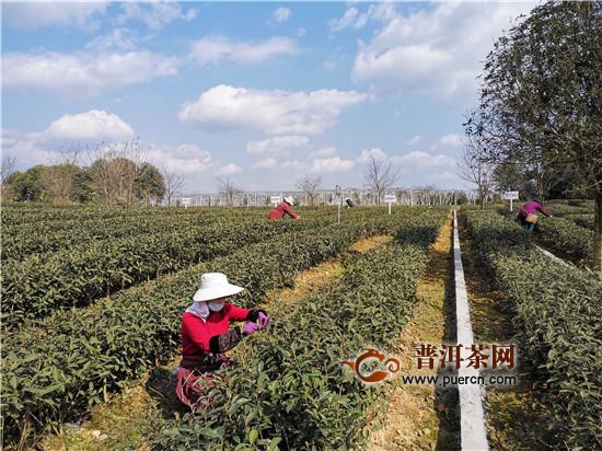 雅安名山:蒙顶山茶开采,2月20日大面积上市