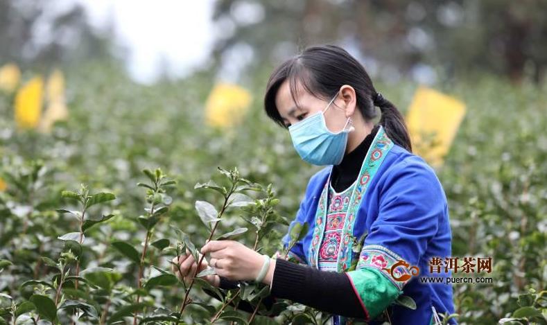 广西三江:春到侗乡茶飘香