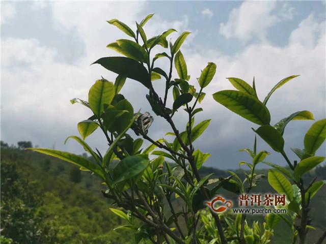 冠状病毒疫情将如何营影响茶叶经营?附应对措施建议