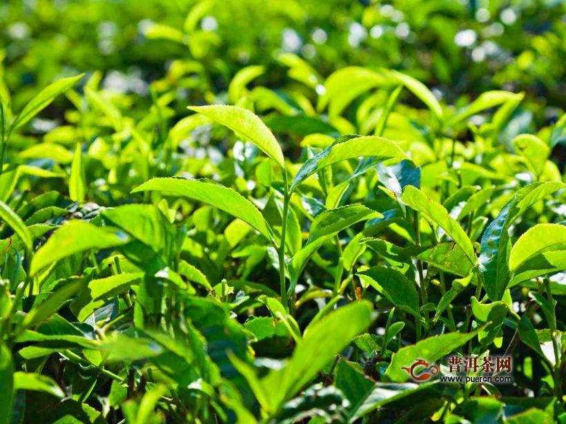 凤凰单枞哪个品种最香