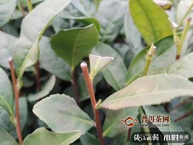 2020龙井茶快报:西湖龙井冒芽头儿,浙南乌牛早小量开采