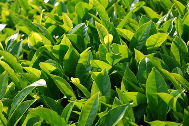 """抓住三年窗口期 从供给端入手,用""""精制化""""做强川茶产业"""
