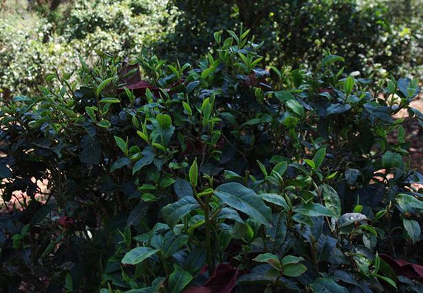 今年滑竹梁子春茶价格多少