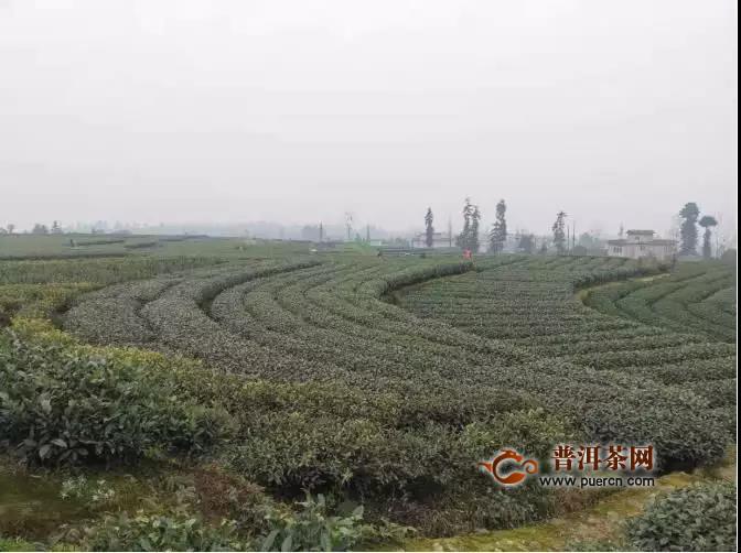 雅安市雨城区2020年春茶已开采