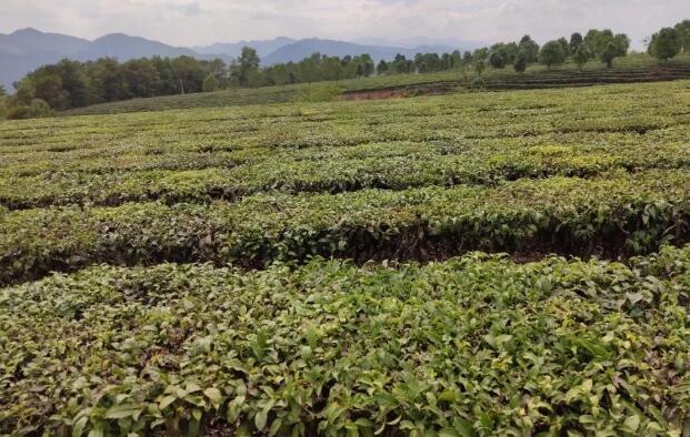 景东县茶叶协会对茶企业提出稳岗稳业要求