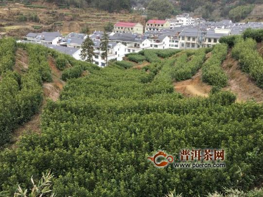 澄照乡茶产业积极应对寒潮