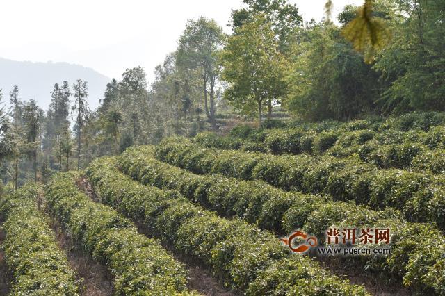 六盘水六枝特区2020年春茶生产应对措施建议