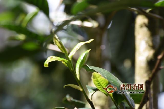 凤凰窝古树茶2020年春茶价格多少