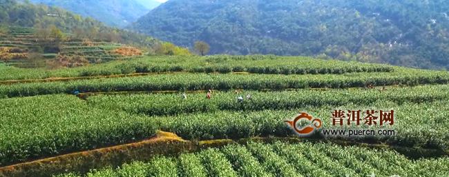 普安县细寨村:春茶喜迎开采 复产不忘防疫