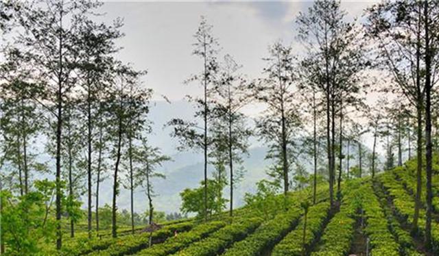 云南昌宁红茶获欧盟和美国有机茶认证