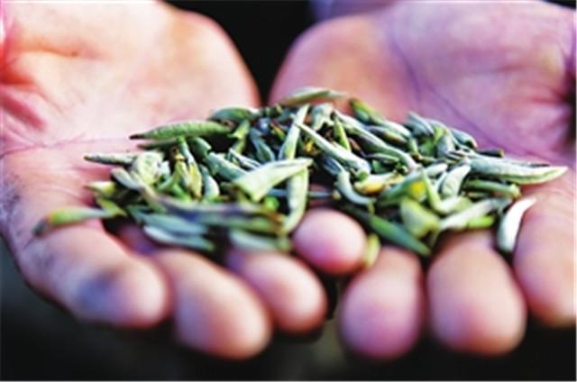 茶农茶企如何自救? 大理州南涧县逐步进入春茶采摘季