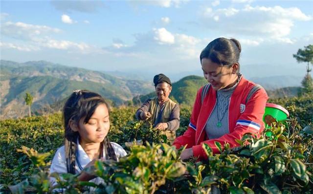 大理南涧:春茶飘香无量山