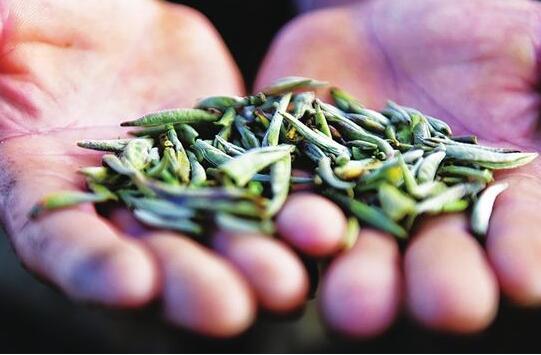 今年茶山静悄悄 茶农茶企如何自救?
