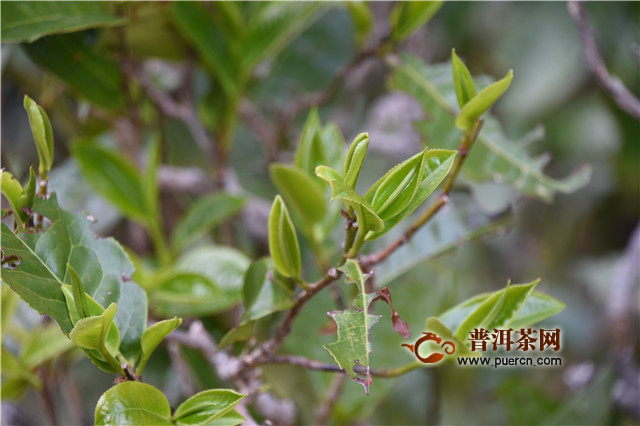 白茶,世界上最早、最原始的茶叶制作方式