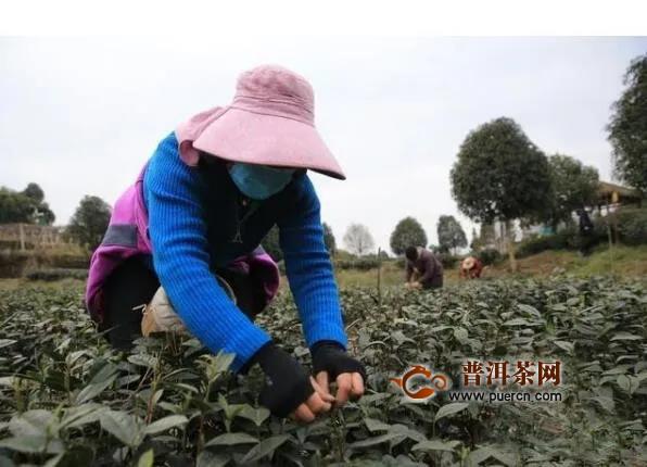 四川邛崃13万亩早茶开采,2月底可喝上2020年首批春茶