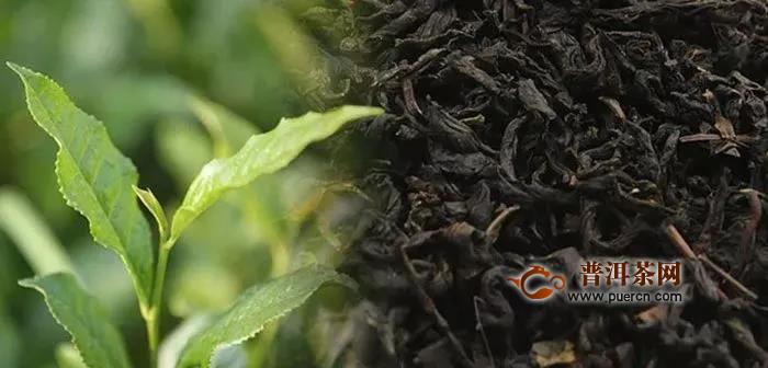 安化黑茶与其他茶叶的不同之处