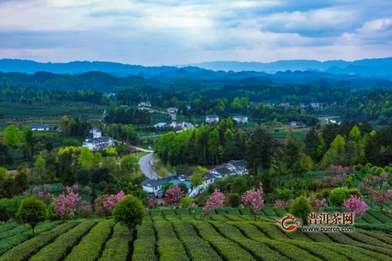 湄潭茶业防疫生产两不误