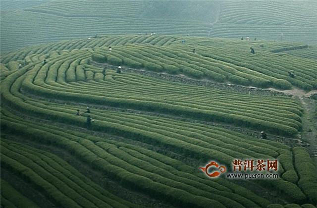 福鼎白茶各产区特点