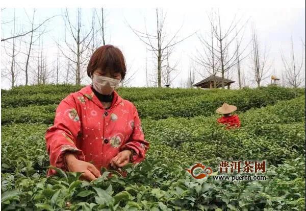 浙江开化头采龙顶茶不拍卖,送给抗疫一线的医务人员