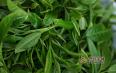 2020年蛮砖古树茶春茶多少钱一斤