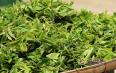 帕沙古树春茶2020年价格预测