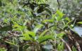 今年景迈山古树茶春茶价格多少钱一斤