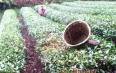 湄潭县疫情防控和春茶生产两不误