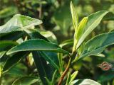 白牡丹茶产季:春季、秋季
