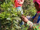 2020年云南普洱茶各大茶区古树春茶价格预测及参考价格表