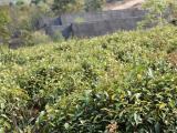 大名山:普洱茶由地主经济向品牌经济转型的拐杖