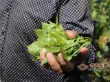 2020年云南普洱茶古树茶春茶价格行情预测,疫情对普洱茶的影响!