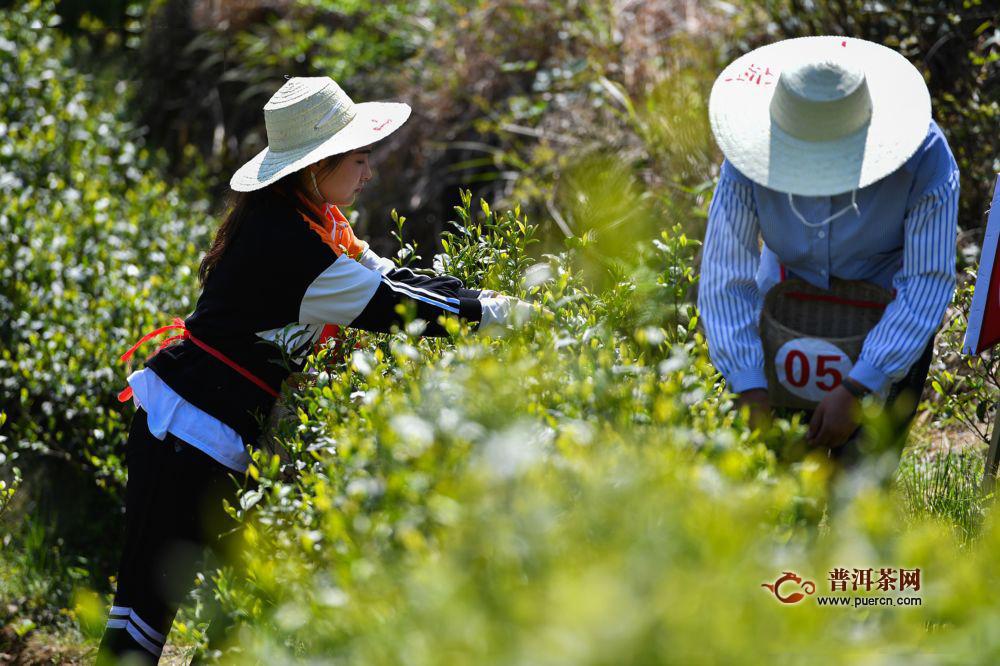 """春茶采摘季""""双手采茶""""让贵州茶农增收茶业增效"""