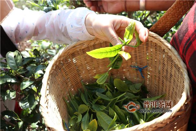 老包说茶:中西茶文化有何不同?