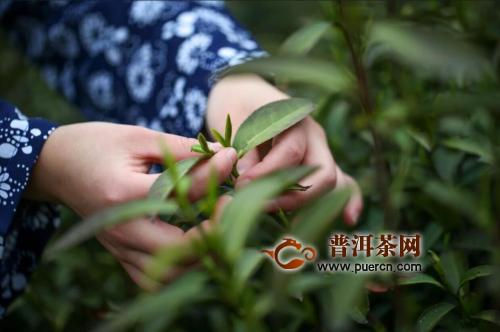 绿茶的采摘手法
