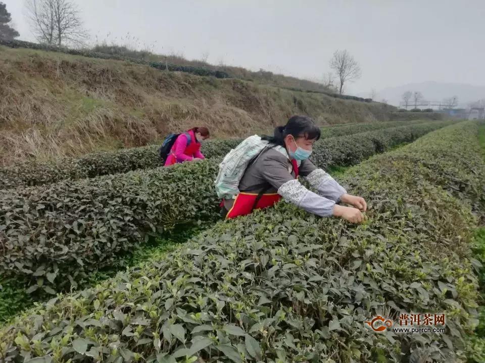 在最美的茶区挖掘铜仁春茶