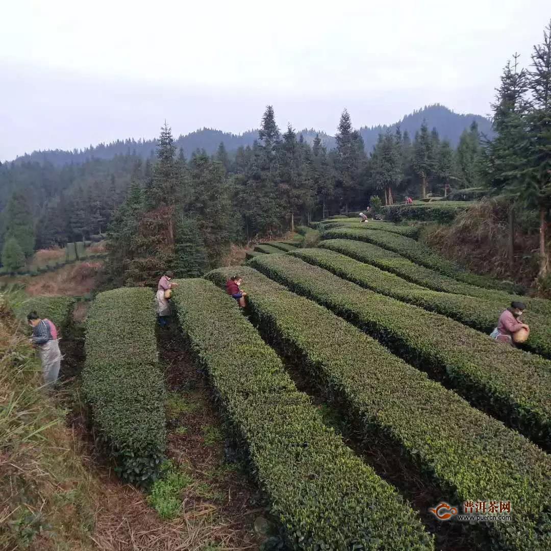 最美茶区铜仁春茶开采进行时