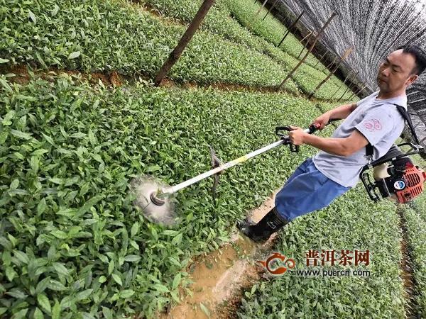 茶树苗圃管理技术要点