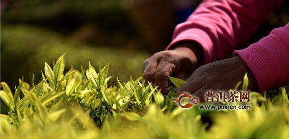 3月9日,罗伯克茶场迎来了一年最繁忙的季节