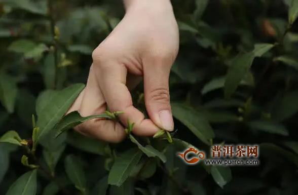 西湖龙井茶将于3月15日左右开采 茶叶自然品质优于上年