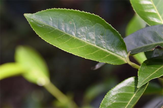 【原创】茶行业转型之年:线上营销转型,产业链延伸加速(下)