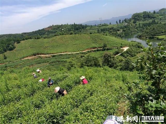 贵州清镇中坝村:一片茶支撑着村