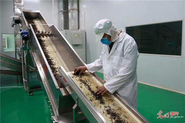 云南元阳:有序推进茶企复工复产