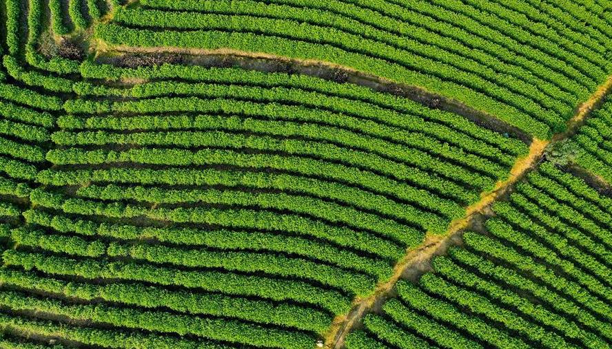 """建成""""茶山支路""""优化完善茶产业链"""
